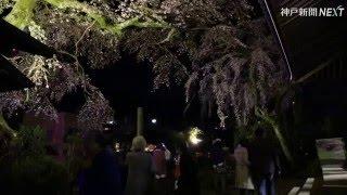 有馬温泉街にある善福寺(神戸市北区有馬町)で4月8日、樹齢300年...