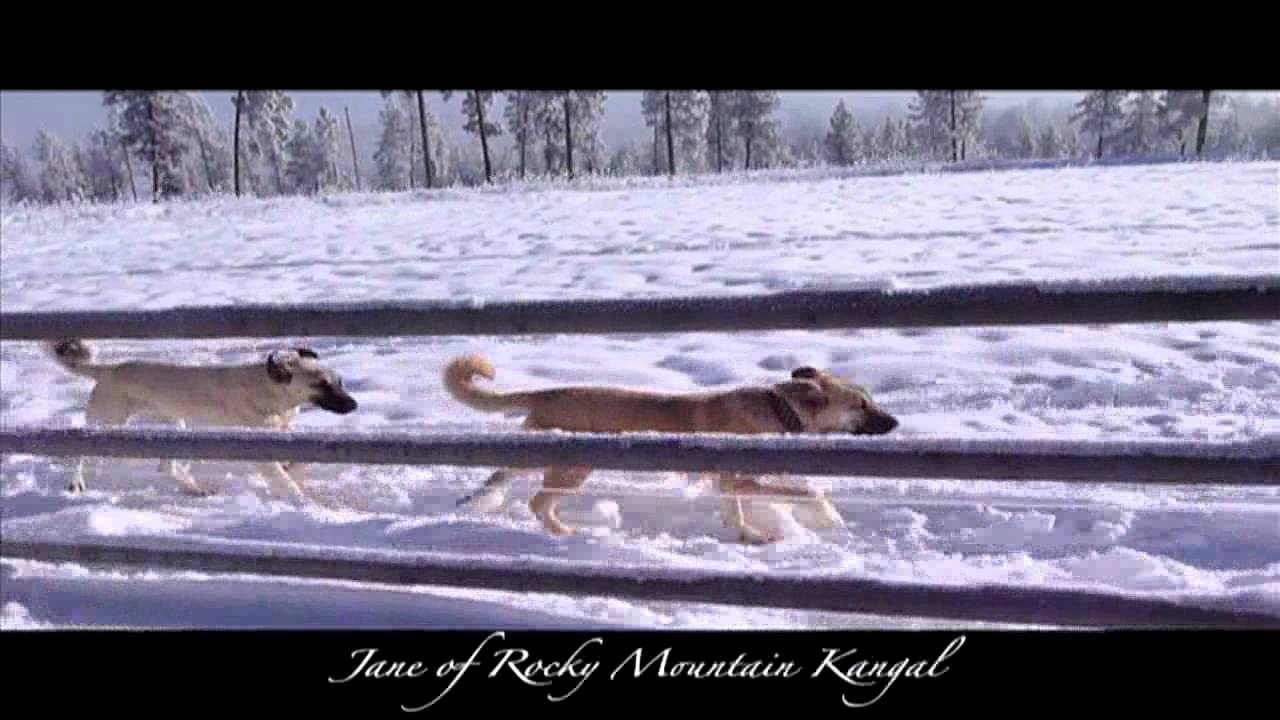Rocky Mountain Kangal - Breeders of Turkish Kangals and Boz