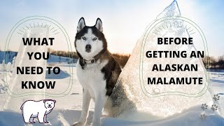 Getting To Know Your Dog's Breed: Alaskan Malamute Edition