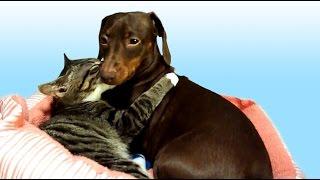 Cute  Kitten Kisses Pet Dachshund Dog To Sleep