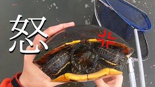 めちゃくちゃ煽ってくるカメに遭遇。と、ゴミ拾い始めました【琵琶湖ガサガサ探検記19】(ミドリガメ、クサガメ)