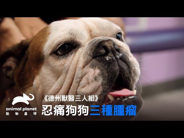 《德州獸醫三人組》狗狗身上居然有三種腫瘤?卻依然笑臉迎人沒有異狀|動物星球頻道
