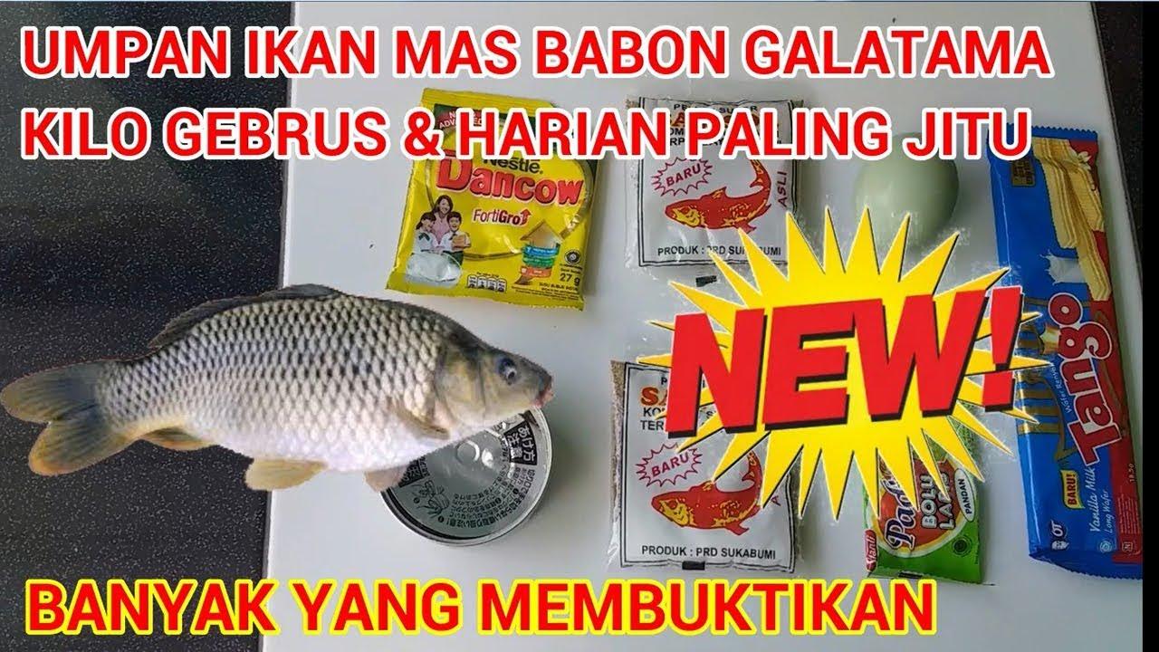 Umpan Ikan Mas Babon Harian Galatama Kilo Gebrus Paling Jitu Youtube