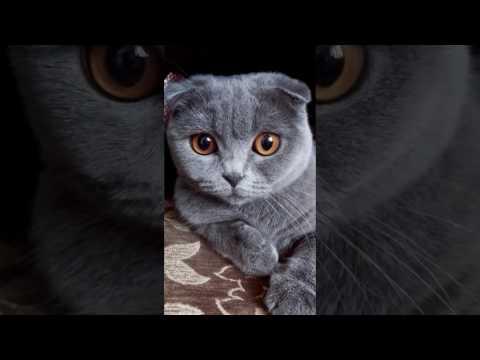Бурманская кошка фото, цена, окрасы, видео, характер
