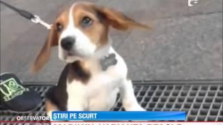 Un Beagle De-a Dreptul Adorabil Face înconjurul Lumii Pe Internet