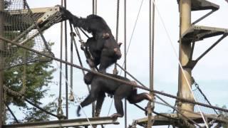 この日放飼場に出ていたのは、全部で14頭。 On this day, 14 chimps wer...
