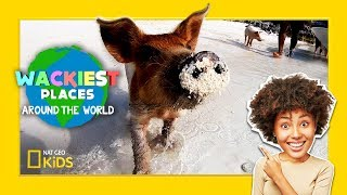 Swim with Pigs! | Wackiest Places Around the World