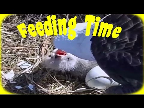 Baby Eagle Feeding! E9 is ONLY 5 hours old!!