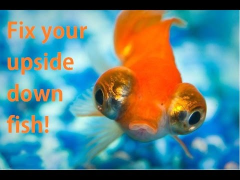 Fix An Upside Down Goldfish! (Swim Bladder)
