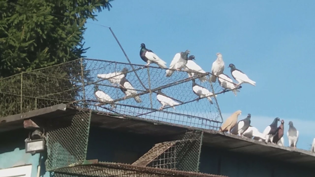 Download Mam nieloty i jestem kłamcą .Zgoniłem 186 głodnych gołębi. Latały  u siebie to jak miały latać.