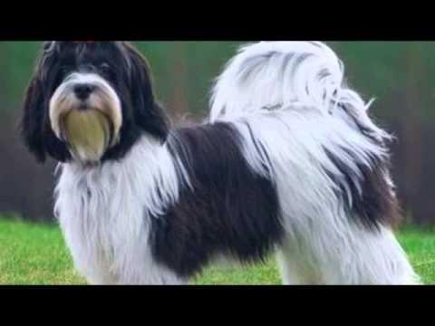 Гаванский бишон смешная и забавная порода декоративных собак