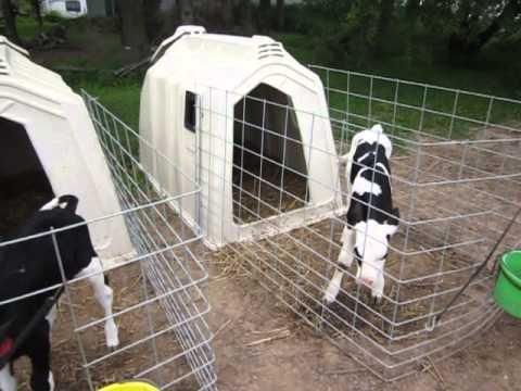 #2 Kolb Farms calf hutch area - YouTube