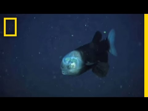 A Fish With A See-Through Head And Rotating Eyes | National Geographic