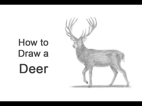 How To Draw A Deer Red Deer Youtube