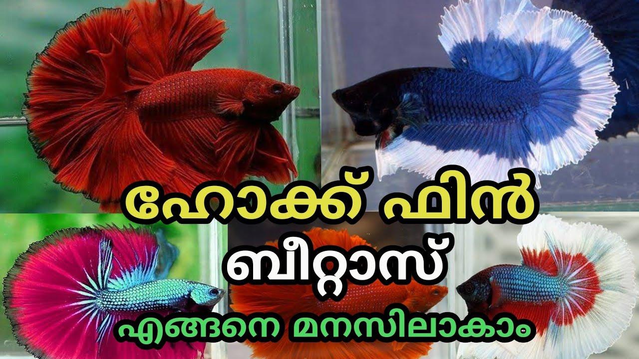 ഹോക്ക് ഫിൻ ബീറ്റാസിനെ എങ്ങനെ മനസിലാക്കാം    Hawk Fine betta fish Malayalam