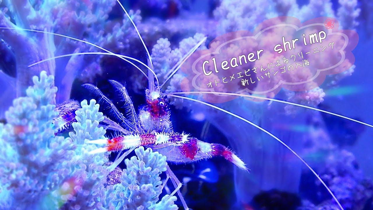 クリーナーシュリンプ!オトヒメエビのクリーニング・新しいサンゴの入海❀海水魚水槽 アクアリウム