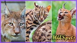 9 Exotic Cats People Keep as Pets