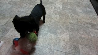 Our Dachshund Is A Hockey Player?! - December 13, 2013 - Danandkelcietv Vlog
