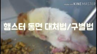 검은콩)햄스터 동면 대처법/구별법