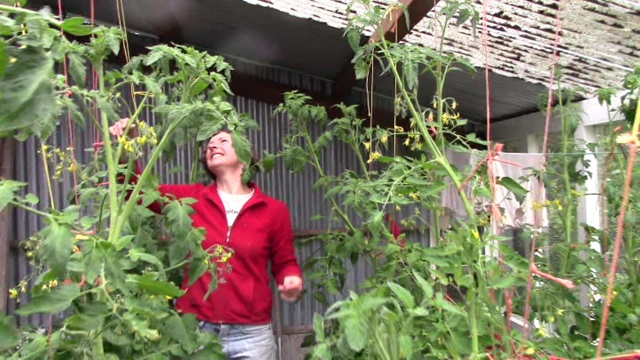tomaten pflanzen tomatenset je x stabtomate u amazonde. Black Bedroom Furniture Sets. Home Design Ideas