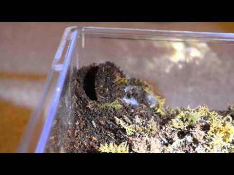 African Red Trapdoor Spider Demolishes Prey