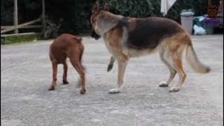 Kylestory#1 Boxer Puppy Fight Against German Shepherd