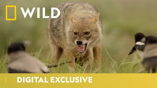Who Will Win? | Europe's New Wild | National Geographic Wild UK