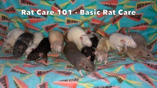 How to Care for Pet Rats