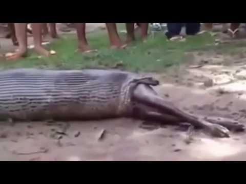 Best Anaconda Attack