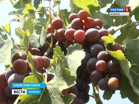 Кубанские фермеры делают выбор в пользу винограда