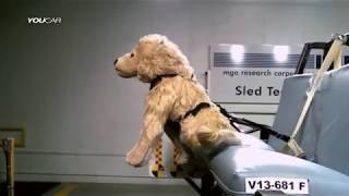 видео Шлейки и ремни безопасности для собак