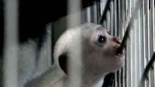 Cute Baby Abyssinian Colobus (six weeks old).かわいいアビシニアコロ...