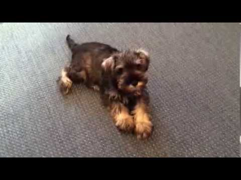 Watch Nina Grow! Miniature Schnauzer Puppy's Time-lapse Video