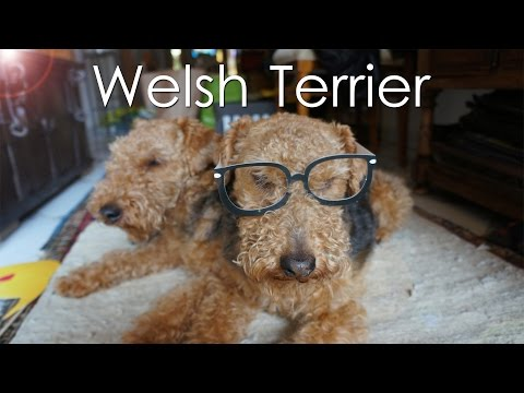 Welsh Terrier - Cutest Dogs - Brother and Sister playing catch :)