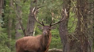 Hertenbronst 2016, Leuvenumse bos, Veluwe movie