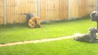 Neapolitan Mastiff Pack Plus Dogue De Bordeaux