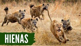 Predadores africanos - Hienas