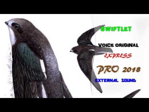 DOWNLOAD SWIFTLET PRO VOICE  EXCLUSIVE V.9 60 MINUTES | ORIGINAL HQ Swiftlet Pro 2018