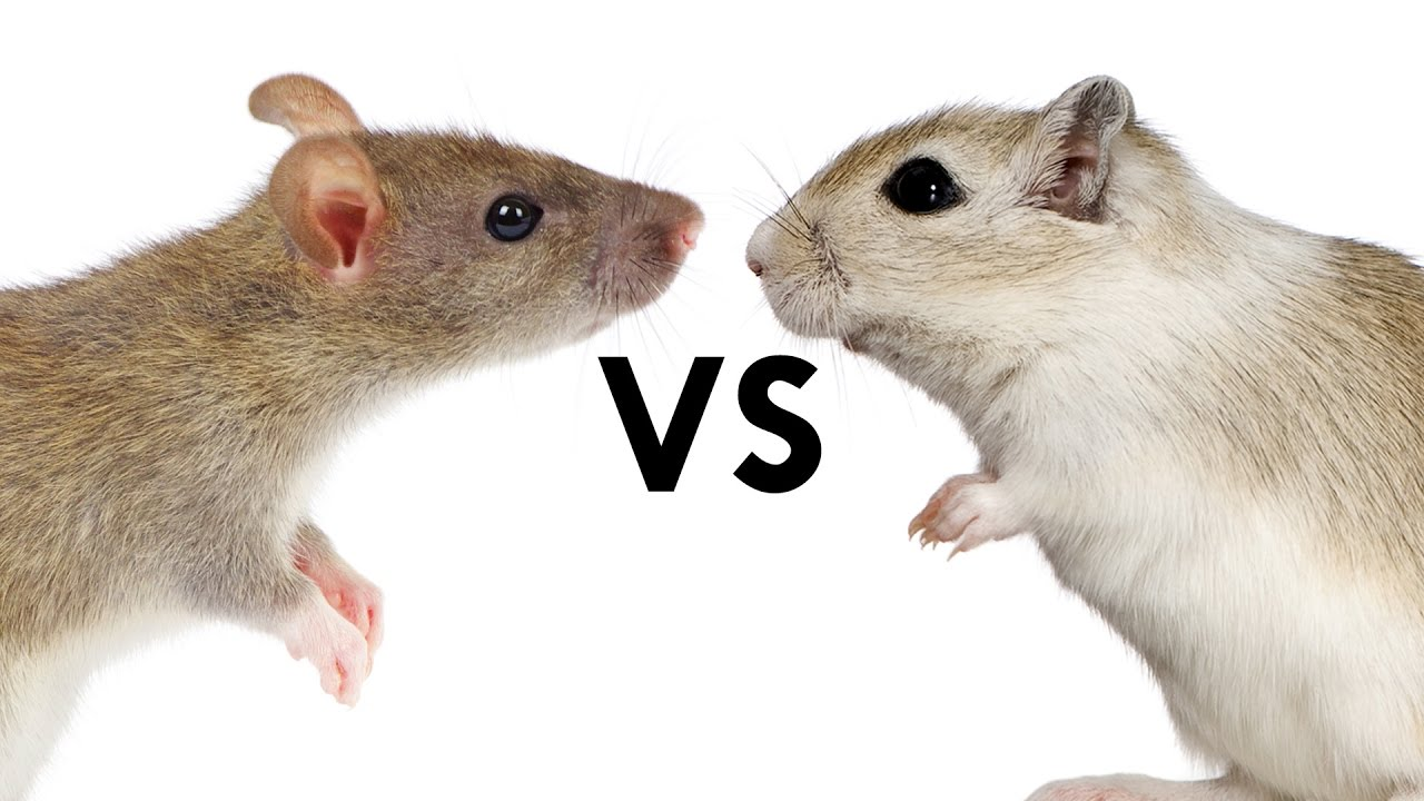 Rat vs mouse 28 images what is the difference for Mice in between floors