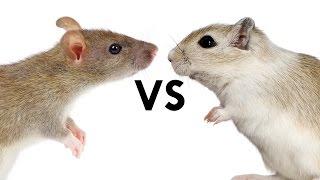 Rats didn't Spread the Plague, Gerbils did