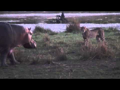 Hippo and cheetahs