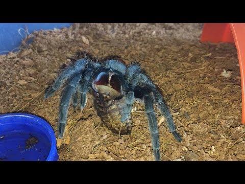 Grammostola Pulchra, Brazilian Black Tarantula, First Feed After Her Moult.