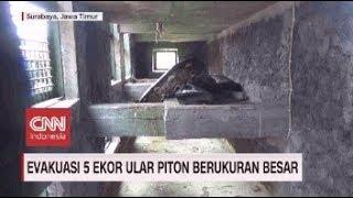 Evakuasi 5 Ekor Ular Piton Berukuran Besar