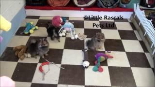 Little Rascals Uk Breeders New Litter Of Pomeranian Puppies