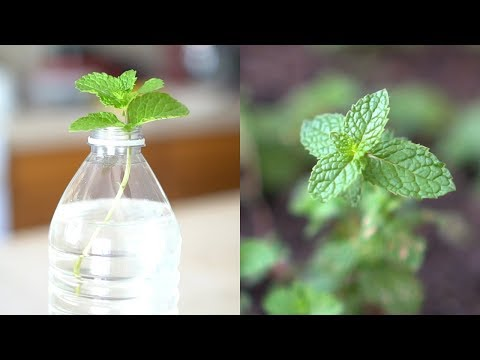 How To Grow Mint From Cutting | Root And Propagate Mint In Water
