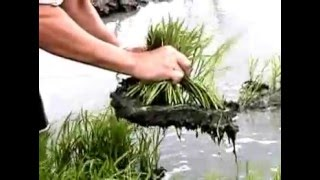 agriculture technology in usa  Establishing a modified mat nursery for rice  