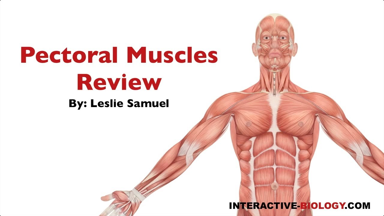 086 Pectoral Muscles Review Youtube