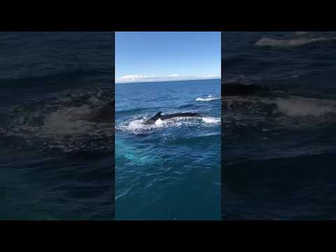 *UNSEEN FOOTAGE* HUMPBACK WHALE SWIMS UNDER BOAT