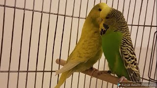 Muhabbet Kuşlarına Mama Yapıp Servis Ettik