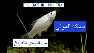 سمكة المولي من الصفر للتفريخ Molly Fish Youtube